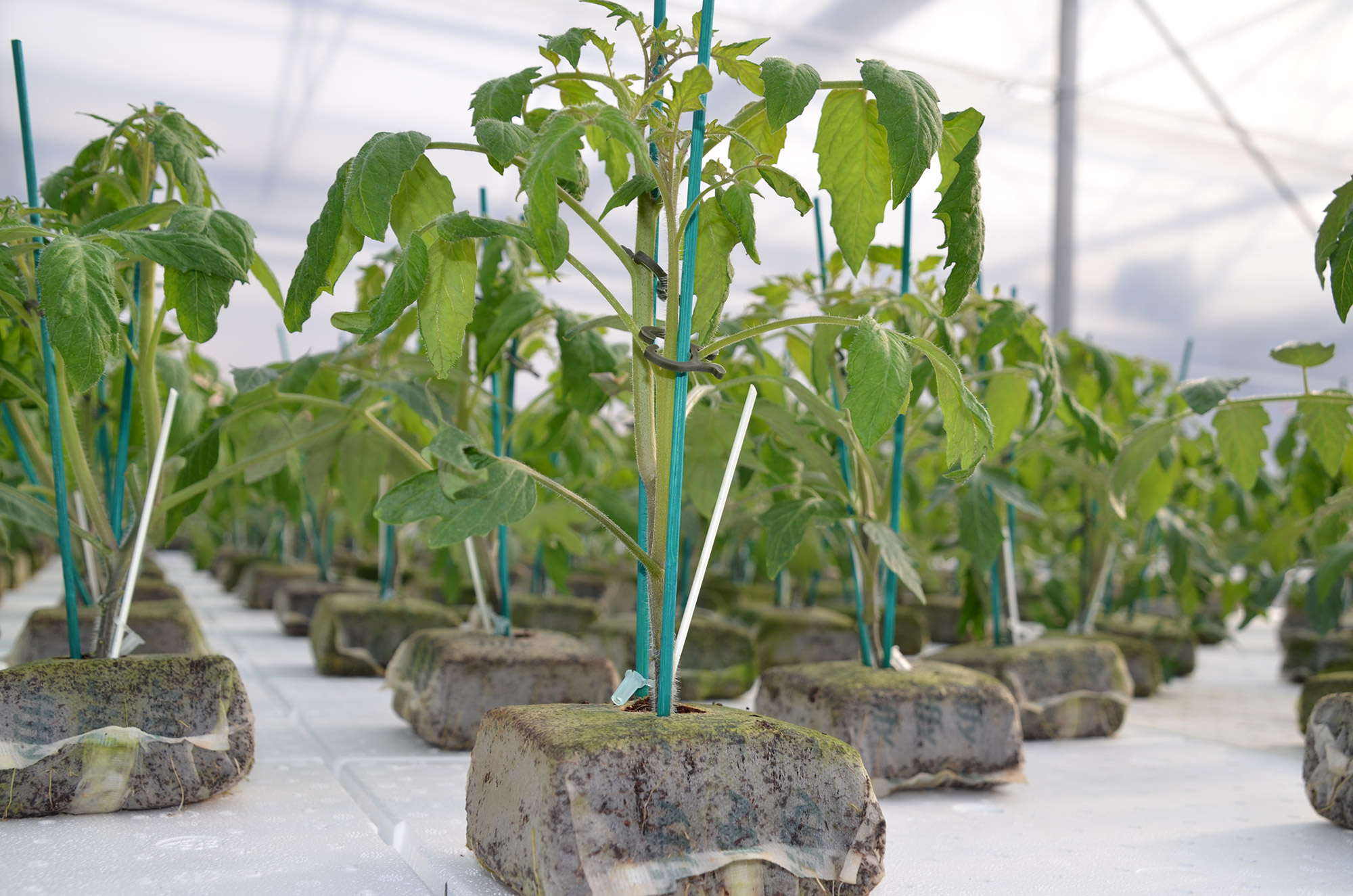 grafting technology serra 3
